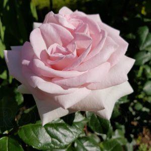 Роза Александр Пушкин