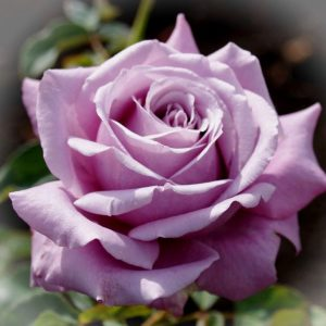 Роза Блю Парфюм Blue Parfum