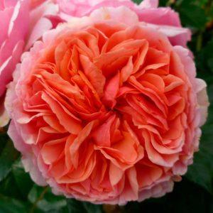 Роза Чиппендейл Chippendale