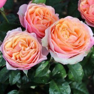 Роза Эдит Edit