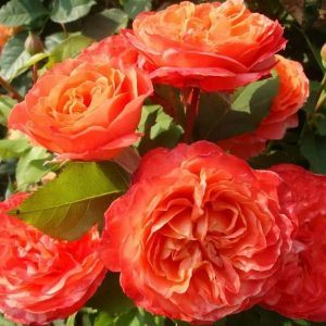 Роза Эмильен Гийо Emilien Guillot