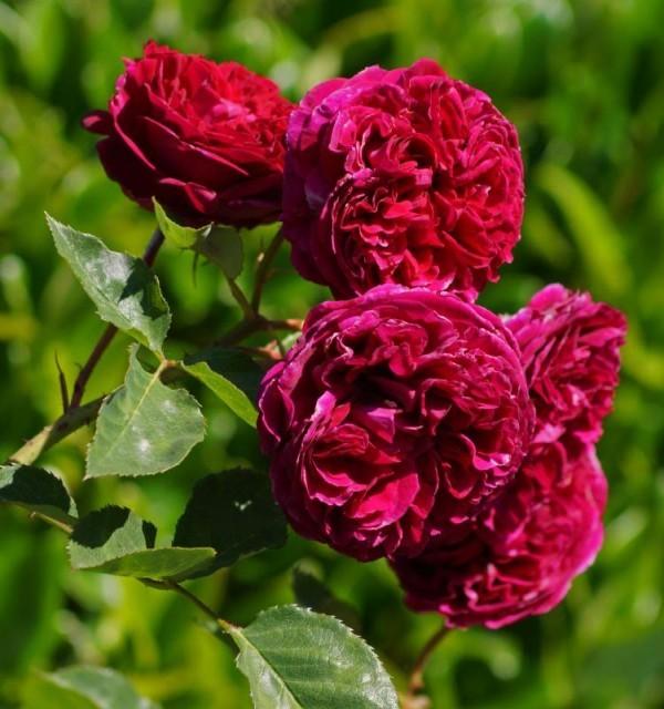 Роза Фальстаф Falstaff