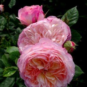 Роза Констанс Constance