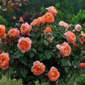 Роза Леди Эмма Гамильтон Lady Emma Hamilton