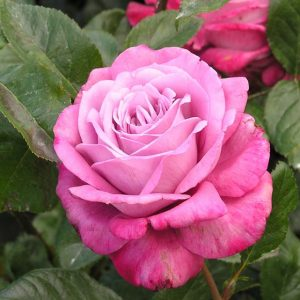Роза Моди Блю Moody Blue