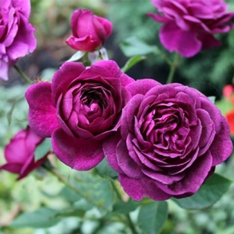 Роза New Age Нью Эйдж