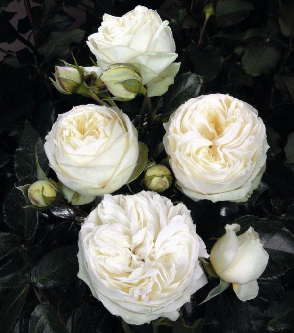 Роза Веддинг Пиано Wedding Piano