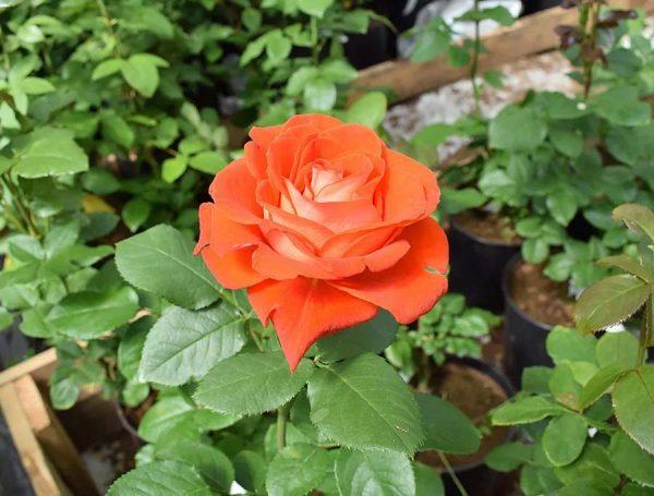 Роза Верано VERANO
