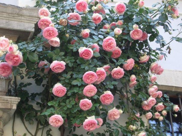 Роза Эден Роуз Eden Rose