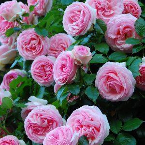 Роза Пьер де Ронсар Pierre de Ronsard