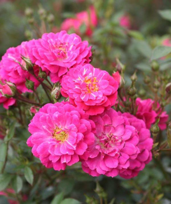 Роза Перпл Рейн Purple Rain