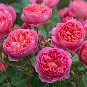 Роза Боскобель Boscobel