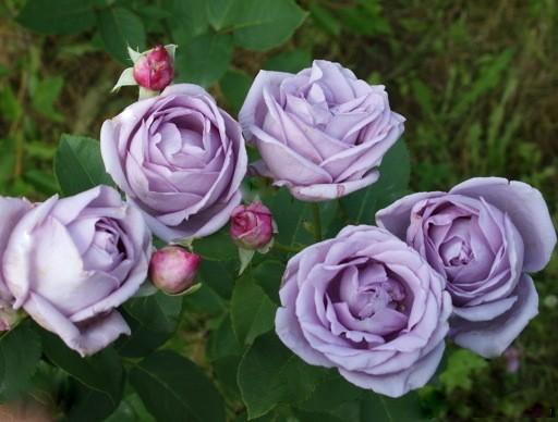 Роза Индиголетта Indigoletta