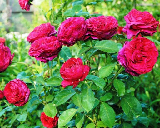 Роза 4-х Ветров Rose des 4 Vents