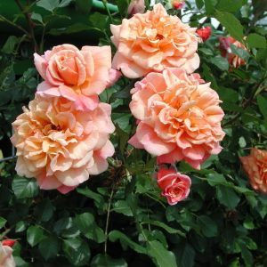 Роза Алоха Aloha