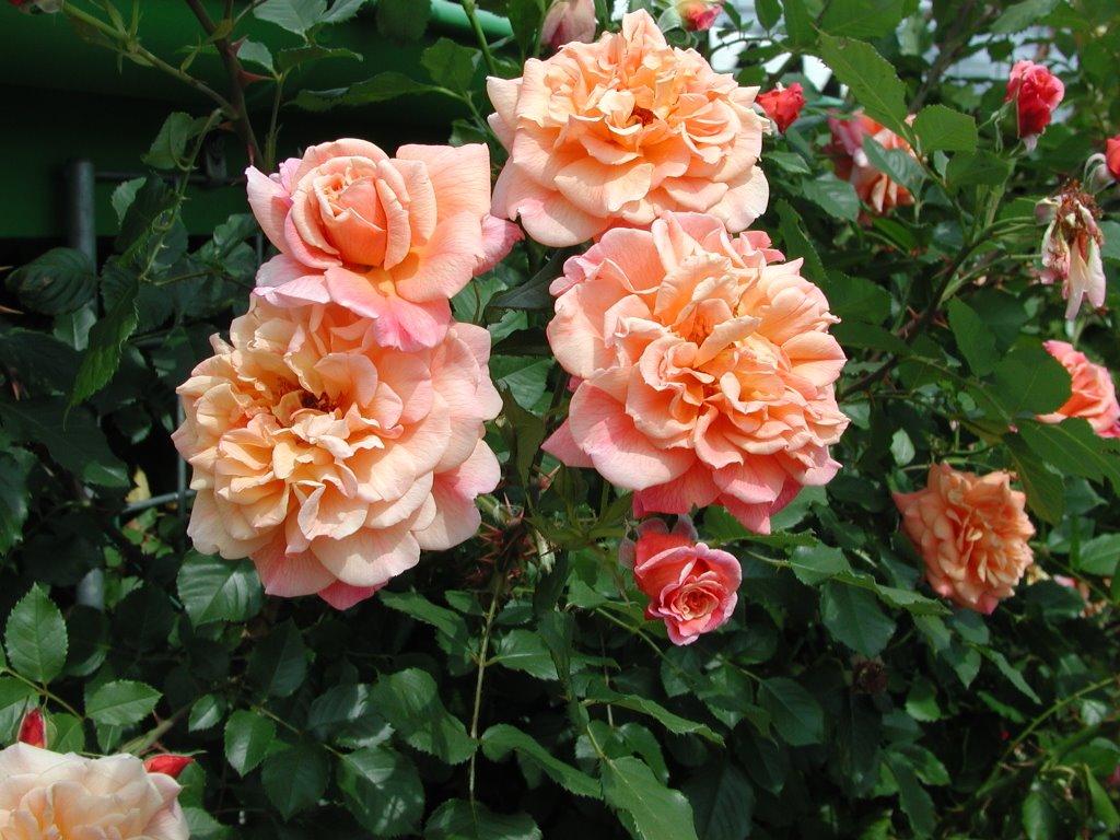 зеленые розы купить в москве саженцы