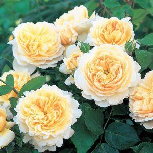 Роза Крокус Роуз Crocus Rose