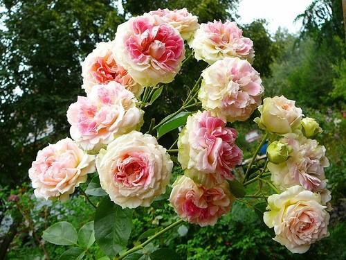 Роза Цезарь Cesar