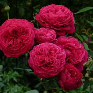 Роза Госпель Gospel