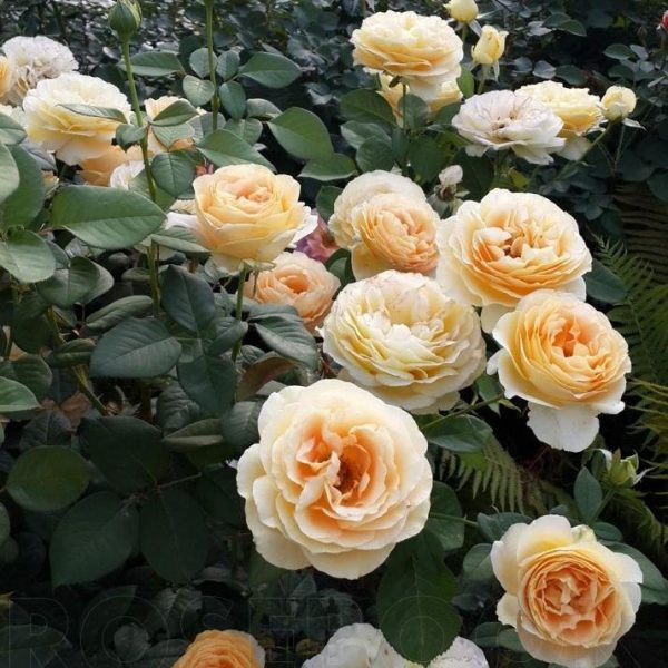 Роза Кэндллайт Candlelight