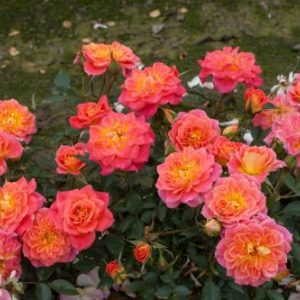 Роза Мандарин Mandarin