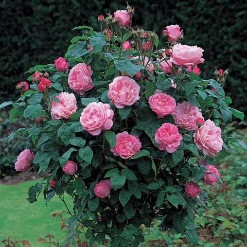 Роза Мэри Роуз Mary Rose