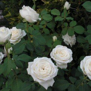 Роза Мемори Memory