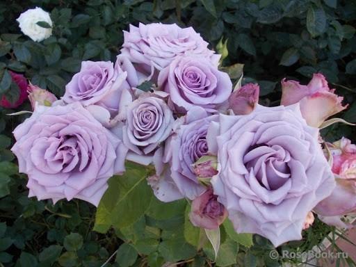 Роза Оушен Сонг Ocean Song