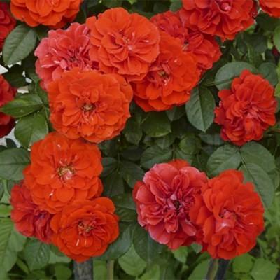 Роза Оранж Мейландина Orange Meillandina