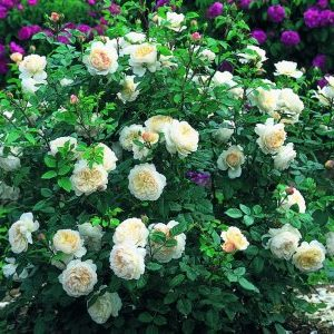 Саженцы Роз Шрабы