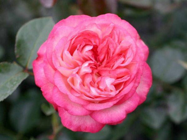 Роза Антик Antique